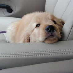 Eight Reasons Why Golden Retrievers Are The Best Dogs #goldenretriever #goldenretrieverpuppy
