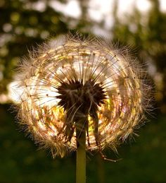 Pusteblume by ~*sternenstaub*~, via Flickr