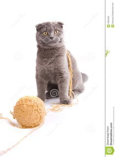 Scottish fold cat is playing with clew. Cat with ball. - #cat - Different Scottish Fold Cat Breeds at Catsincare.com!