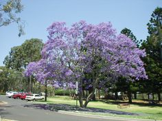"""My paradise would be full of these gorgeous lilac colored """"Jacaranda"""" trees found in Australia."""