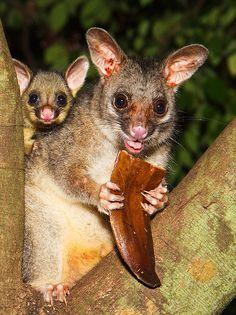 Possum mother and baby. Darwin, Northern Territory, Australia.
