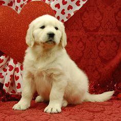 White Oak Golden Retriever Puppies.  Healthy, Beautiful Goldens.