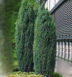 Borievka obyčajná / Juniperus communis ´HIBERNICA´ K9, 20-30 cm Juniperus Communis, Cactus Plants, Cacti