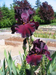 Bearded Iris Flower Arrangements | TALL BEARDED IRIS PLANT BULB RHIZOME- SPARTAN