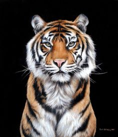 Sarah Stribbling has finished a painting of Kirana (female Sumatran Tiger at Chester Zoo) from one of my photos - it looks amazing! She's sold the original but we'll auction off signed print to. Tiger Artwork, Tiger Painting, Animal Sketches, Animal Drawings, Wildlife Photography, Animal Photography, Chat Lion, Tiger Drawing, Tiger Pictures