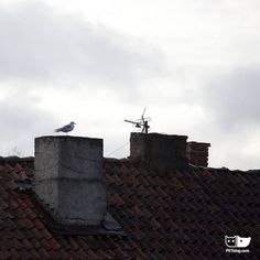 Seagull on a chimney. E. Makarov