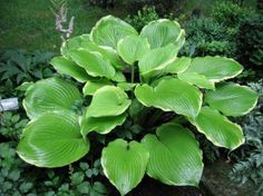 Hosta Winter Snow. Grows 5' wide. 2 for $12.99