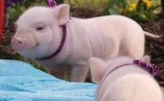pop belly pig app | Mini pot belly pigs for Sale in Hudson, New York Classified | New York ...