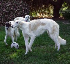 borzoi | Borzoi at Gentle Giants Rescue and Adoptions