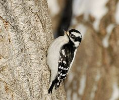 Downy Woodpecker Female. Little! Turning over gravel in the drive before flying to the tree. So little! 2/15/13 AR