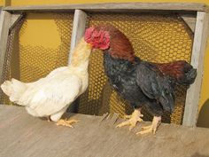 Agen Sabung Ayam Online - Clik Images for more information Animals, Image, Animales, Animaux, Animal, Animais
