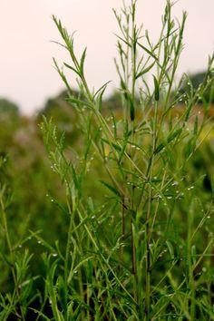 Aster turbinellus (Prärie-Astern)