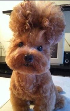 Une coiffure de chien