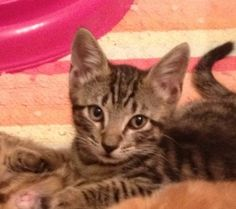 Willy is an adoptable grey Tabby kitten in Douglasville, GA. Willy was rescued with several other kittens from a feral colony. Willy and his mates are very loving kittens and love to sit on their foste...