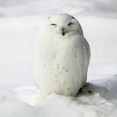 """The """"smile"""" of the snow owl Lovely Creatures, Wild Creatures, Most Beautiful Birds, Pretty Birds, Animals And Pets, Cute Animals, Owl Pet, Owl Photos, Mundo Animal"""