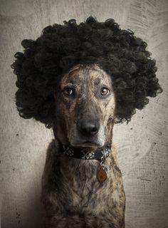 15 animais que ficam lindos com perucas (FOTOS)