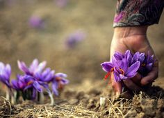 When the hardworking hands adorn food on a family table with the most beautiful color… Saffron farms, Iran @ifilmenglish