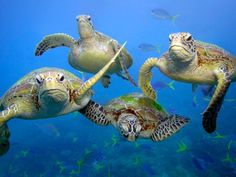 * Save the Great Barrier Reef * Green sea turtles off Queensland, Australia, by Troy Mayne / WWF Amphibians, Reptiles, Mammals, Green Turtle, Turtle Love, Funny Animal Pictures, Funny Animals, Cute Animals, Wild Animals