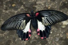 Black, White and Pink Butterfly, Known as the Papilio Rumanzovia