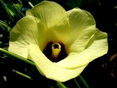 Бамия.(выращивание,цветы,уход,плоды,приготовление,рецепты,полезные свойства.)