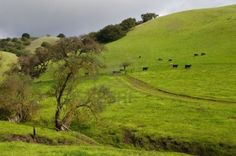 Cattle on a grassy hill, south of San Jose, California Stock Photo Miss California, San Jose California, Costa Rica, Great Places, Beautiful Places, Santa Clara County, San Francisco Bay, Vacation Spots, Scenery