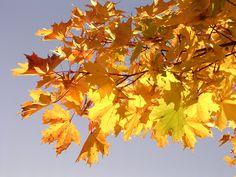 Für nur wenige Wochen im März und April, kannst du die Blätter des Ahorns ernten und vielfältig nutzen und sogar heimischen Ahornsirup ernten.