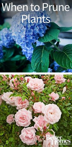 In general, remove dead, damaged or diseased stems as soon as you see them. Find out the best time to trim hydrangeas, fruit trees, clipped hedges, roses, deciduous shade trees, evergreens, pines, shrubs, annual and perennial flowers, and berry plants. Also, check out our tips on how to prune different plants!