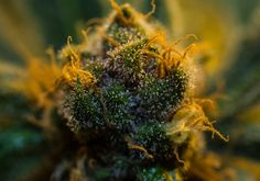 Cannabis by Noah Rosen on 500px