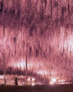 Wisteria tunnel at Ashikaga Flower Park, Japan