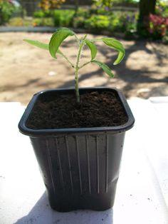 Rempoter vos plants de tomates permet d'obtenir des plants plus forts avant la transplantation finale en pleine terre. Une petite astuce permet de forcer le plant à créer plus de racines. Voyons le procédé.   Comment ça marche ? Le but est d'enterrer une partie de la tige des jeunes plants