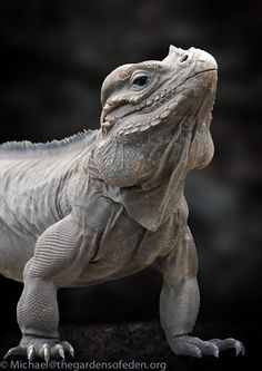 rhinoceros iguana | michael kern