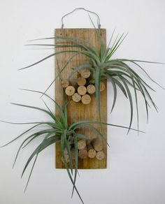 plaque is 15 in height x width width with plants). Will produce a multi-branched yellow spike with purple flowers. Tillandsiawood plaque is 15 in height x width width with plants). Will produce a multi-branched yellow spike with purple flowers. Air Plant Display, Plant Decor, Hanging Air Plants, Indoor Plants, Garden Crafts, Garden Projects, Air Plants Care, Cork Art, Wine Cork Crafts