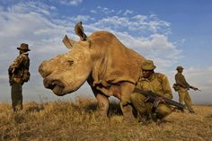 An extremely rare white rhino, of which there are only four left in the entire world, in the Kenyan Ol Pejeta reservation, roams about the plains flanked by armed bodyguards