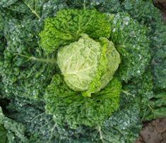 savoy cabbage - could make some interesting kimchi