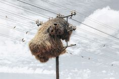 southern Kalahari, sociable weaver birds assume ownership of the telephone poles that cut across their habitat