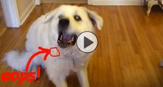 GONE VIRAL: The whole world is falling in love with a 130 lb. dog who can't catch treats! http://theilovedogssite.com/the-whole-world-has-fallen-in-love-with-a-dog-who-cant-catch-treats/