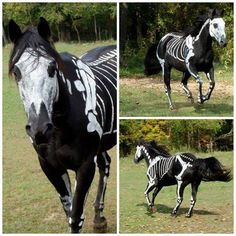 """Raven the horse, in """"costume"""" as Skeleton Horse for Halloween - (water based paint that washes off easily)"""