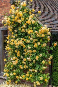 Flower Garden Landscaping 10 Easy Tips to Plant a Climbing Rose.Flower Garden Landscaping 10 Easy Tips to Plant a Climbing Rose Garden Cottage, Rose Cottage, Beautiful Roses, Beautiful Gardens, David Austin Rosen, Rose House, Growing Roses, Dream Garden, Big Garden
