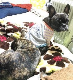 French Bulldogs ❤つむがむっくんのベット占領したりやたらむっくんにベタベタくっついて寝たがるから ちょいちょいこーゆー目線で私を見てくるむっくんです #buhi #dog #frenchbulldogs #フレンチブルドッグ#多頭飼い #黒ブヒ隊 #タイガーブリンドル #むっくん困る