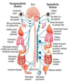 The autonomic nervous system deals with processes that are not in our conscious control. As stated before it is broken down into the sympathetic nervous system and the parasympathetic nervous system. Nursing Tips, Nursing Notes, Bola Medicinal, Yoga Anatomy, Spinal Cord Anatomy, Brain Anatomy, Autonomic Nervous System, Human Anatomy And Physiology, Qi Gong