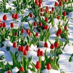 red tulips in the snow!