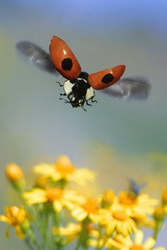 Did you see the ladybird story on #Springwatch last night? Amazing! #homesfornature Photo by Blickwinkel/Alamy