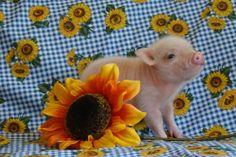 Tiny teacup pigs, micro mini pigs and pixie pigs. i SERIOUSLY buying this little guy :)