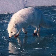 Photo by @paulnicklen // This Arctic Fox admires it's own reflection in the sea ice. To see more of my favourite arctic animals up close and personal please #followme @paulnicklen // with @sea_legacy @cristinamittermeier by natgeo