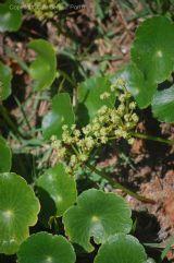 Hydrocotyle bonariensis - salsa da praia - toda a planta comestível