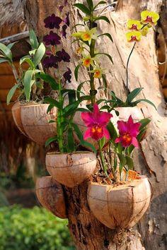 Orquídeas em vasos de casca de coco em árvore.
