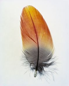 Feather photographs by Taylor Curry - Created without a camera using a process known as Cliche-Verre