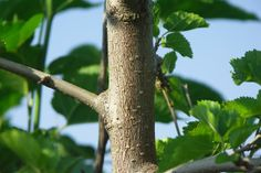 Morušovník bílý (Morus alba) Bird Feeders, Outdoor Decor, Plants, Plant, Planets, Teacup Bird Feeders