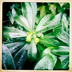 grow: Spurge laurel