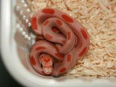 Sunkissed Stripe Corn Snake